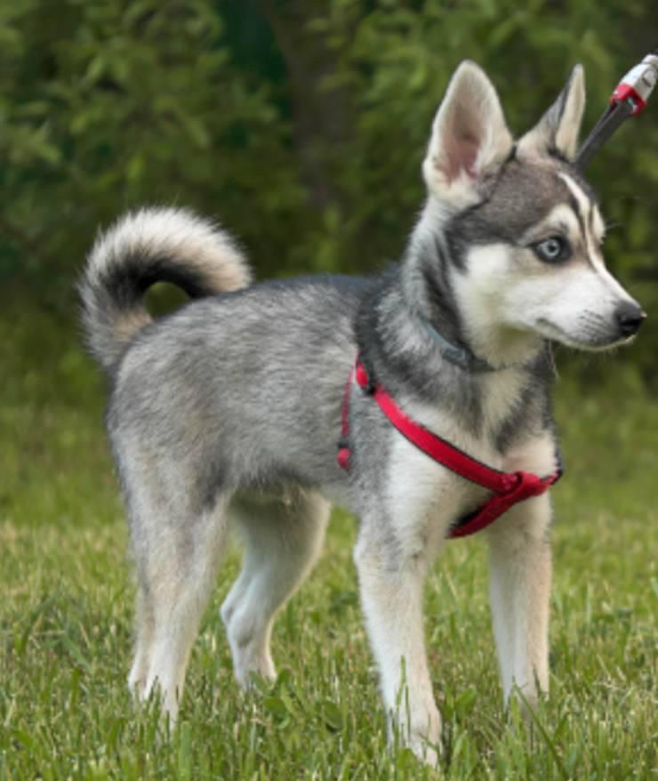 Alaskan Klee Kais cucciolo