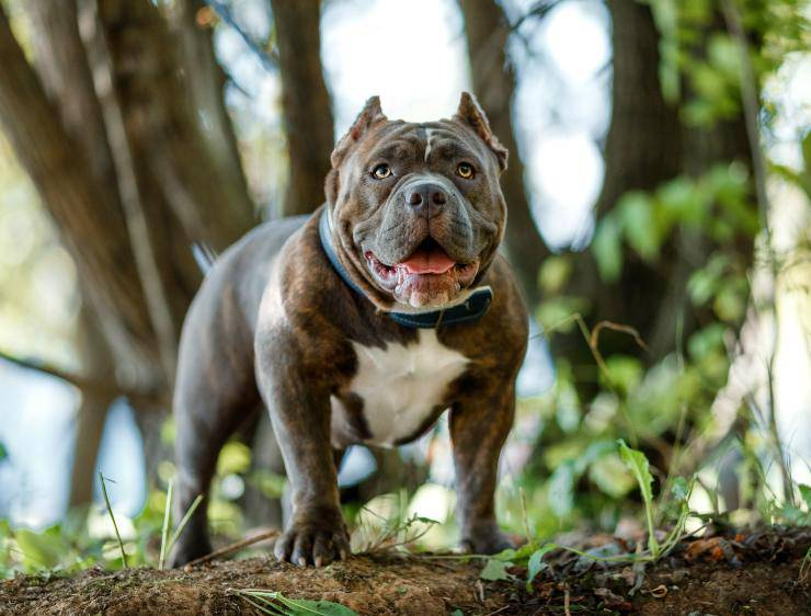 American Bully adulto