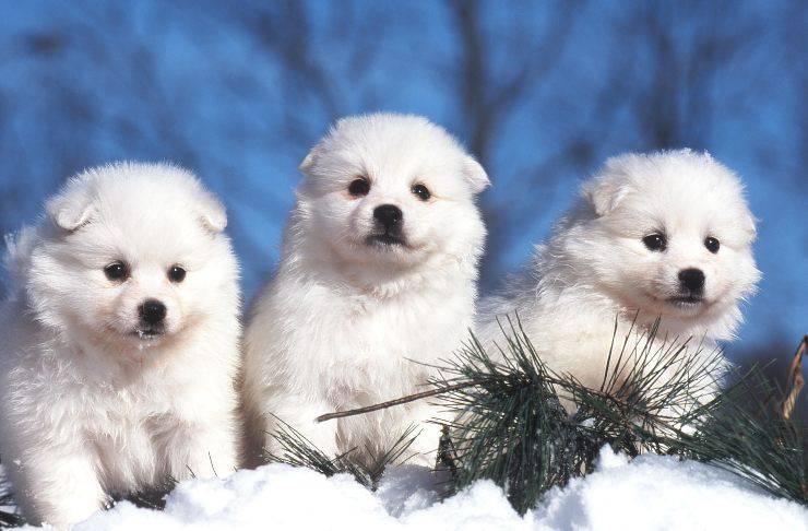 American Eskimo cucciolo