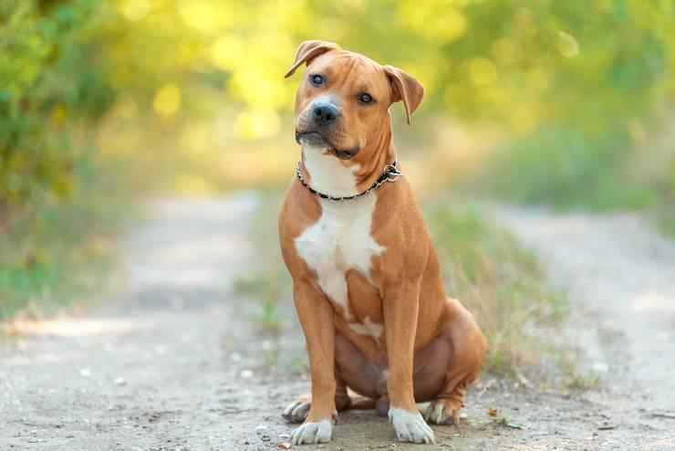 American Pit bull Terrier adulto