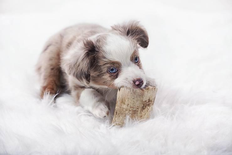 Australian Shepherd cucciolo