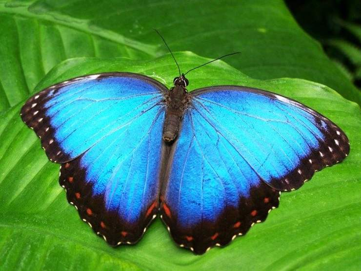 Blu Morpho