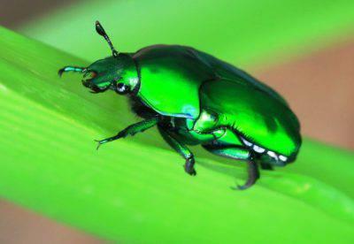 scarabeo cetoniinae
