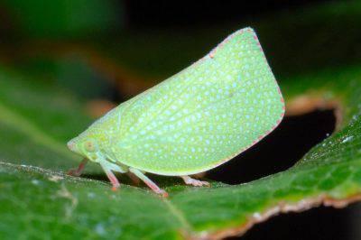 Cicadellidae Cicadellidi