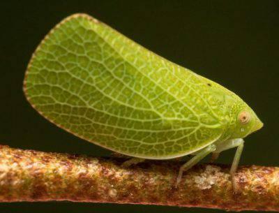 fulgoroidea insetto