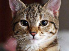 rubano gatto casa