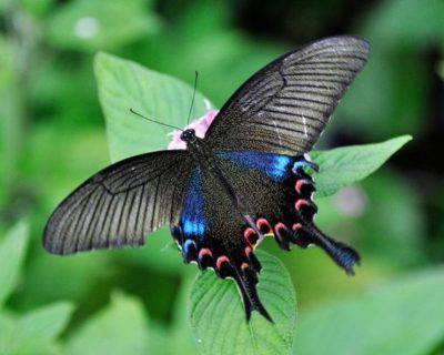 Papilio Chikae farfalla