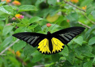 Troides aeacus farfalla
