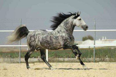 razze cavalli spagnoli