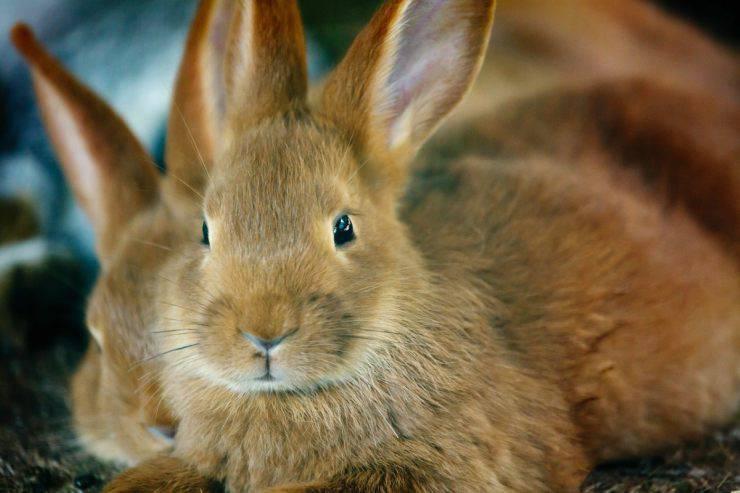 Coniglio non fa la cacca
