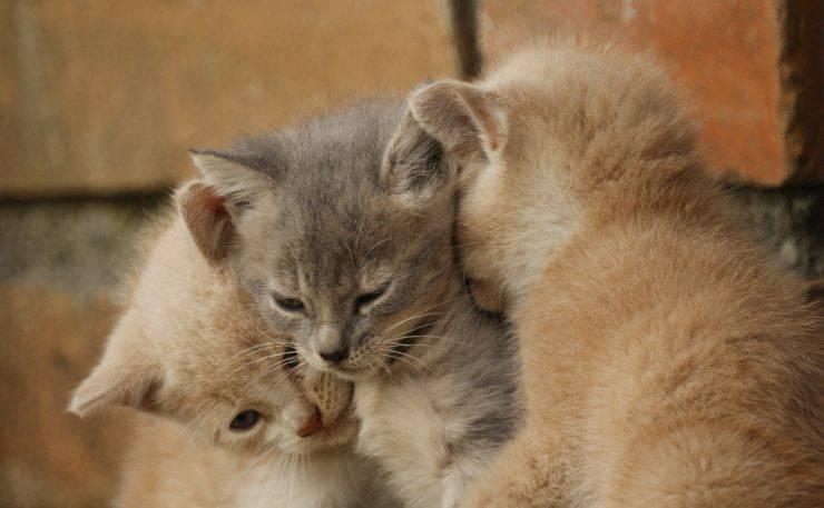 gattino miagola fratelli