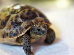 Anoressia post letargo nella tartaruga