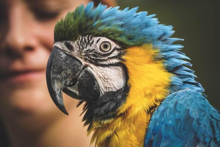 Insegnare al pappagallo a parlare: l'ara