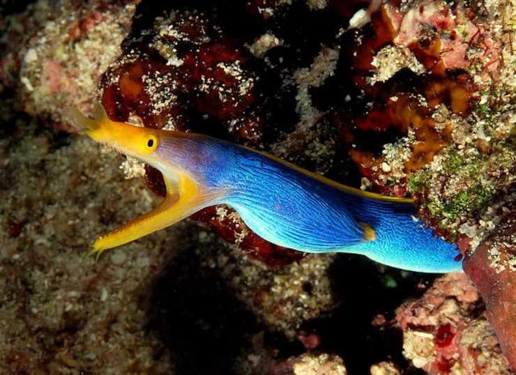 pesce pesci murena