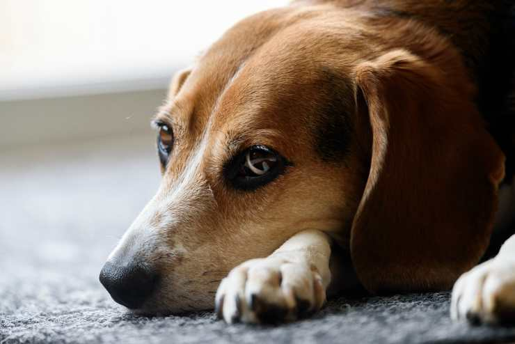 Il triste beagle (Foto Pixabay)