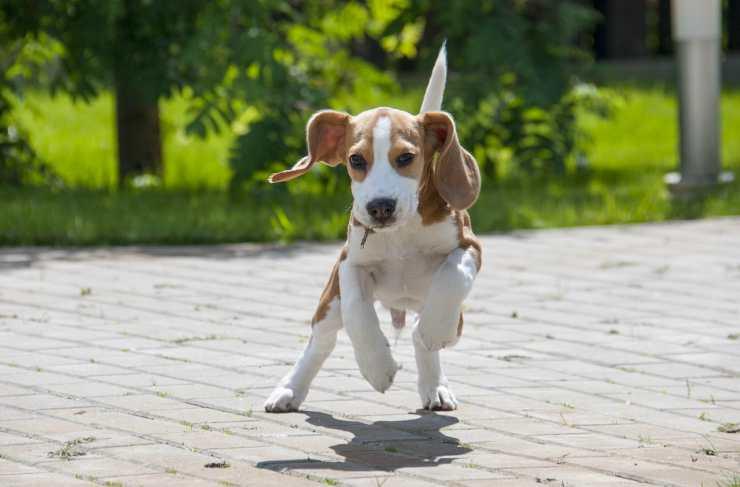Il beagle che corre felice Facebook