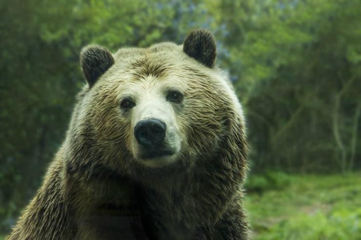 orso con sguardo malinconico (Foto Pixabay)