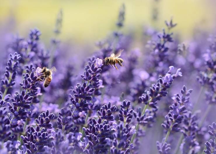 api fiori viola