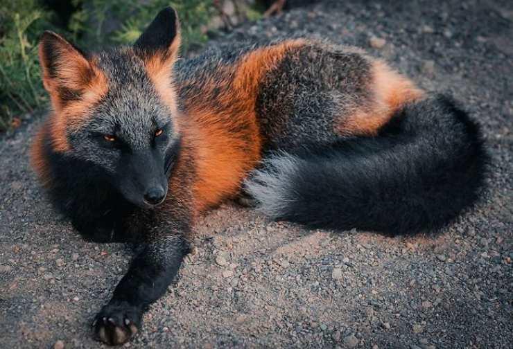 volpe crociata nero arancione foto