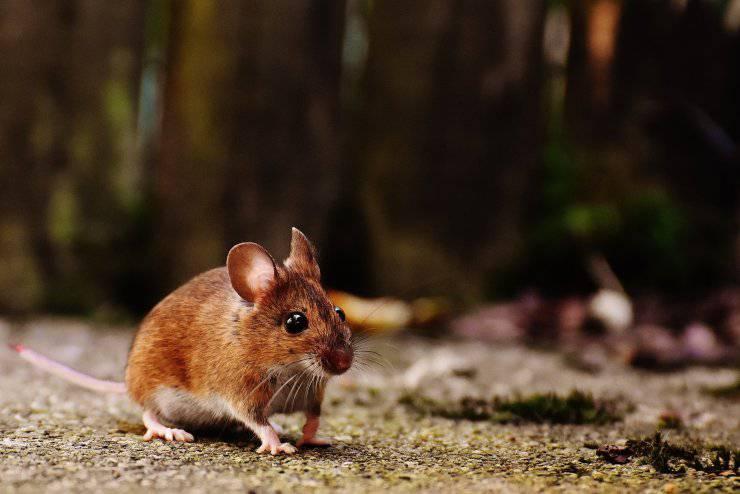 topolino ratti odori