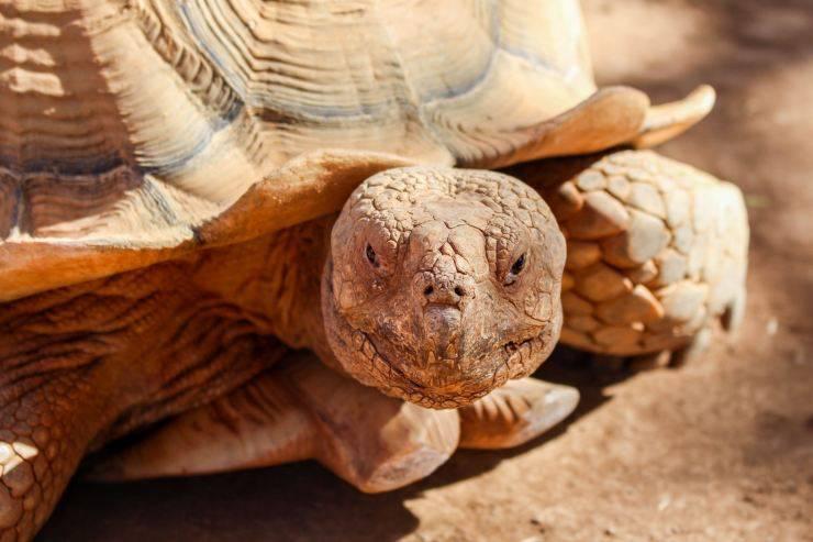 tartaruga cibo umano