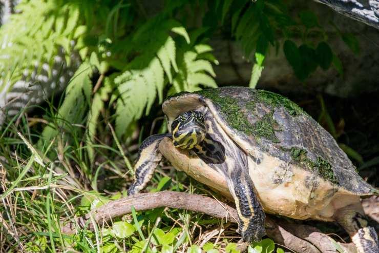 tartaruga notturna diurna