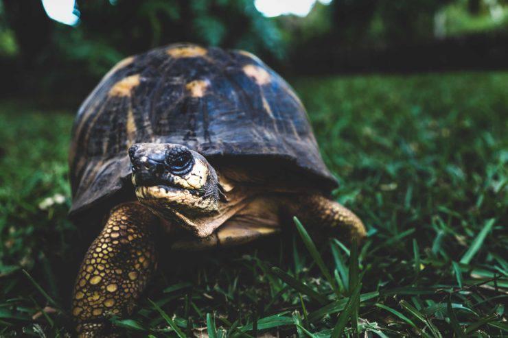 tartaruga prato aperto