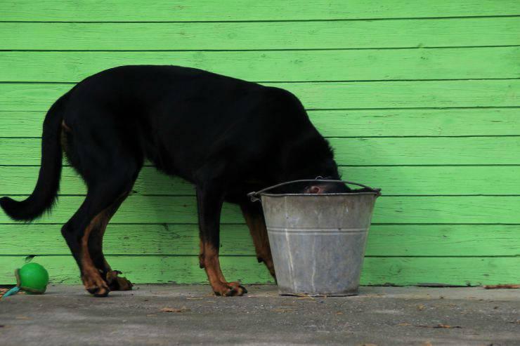 Il cane ha bevuto la candeggina