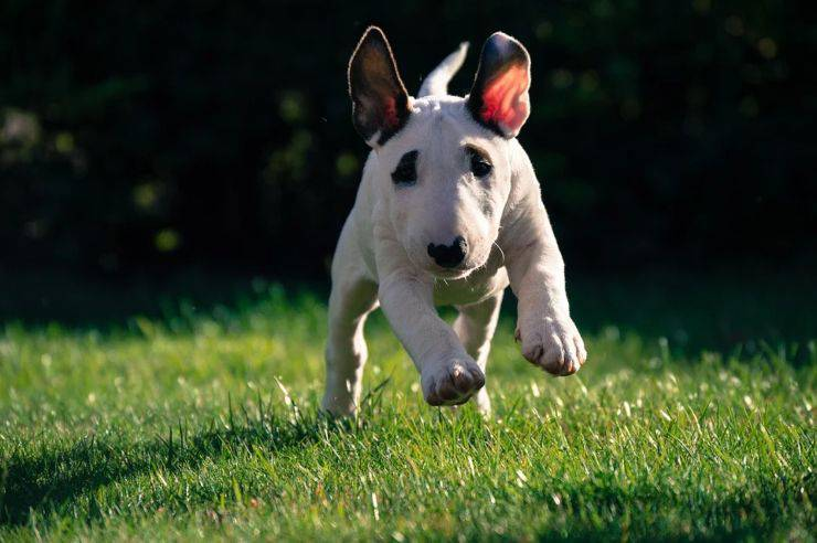 chien chiot bull terrier