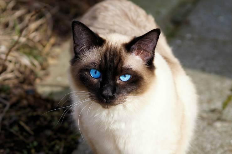Gatto siamese (Foto Pixabay)