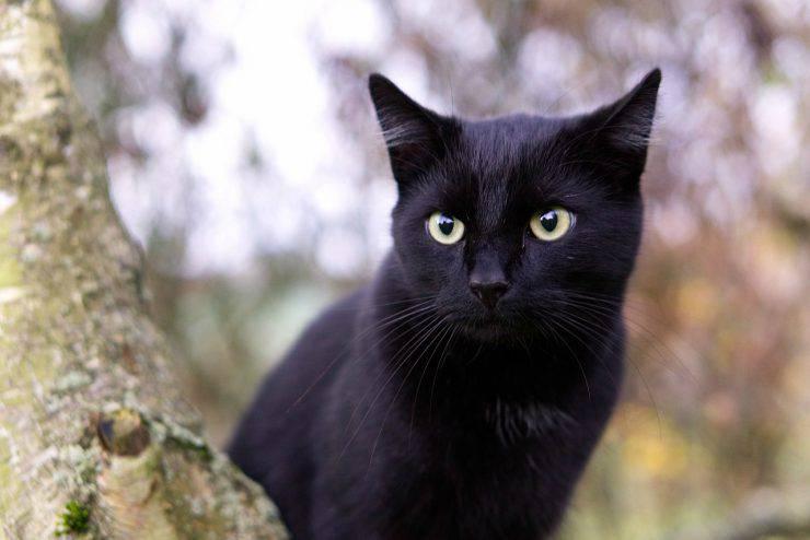 Colore del pelo del gatto e personalità: il gatto nero