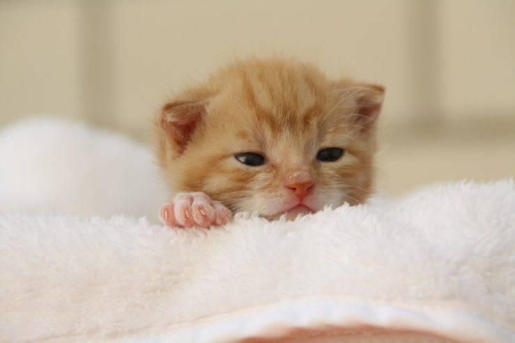 gattino miagola sempre