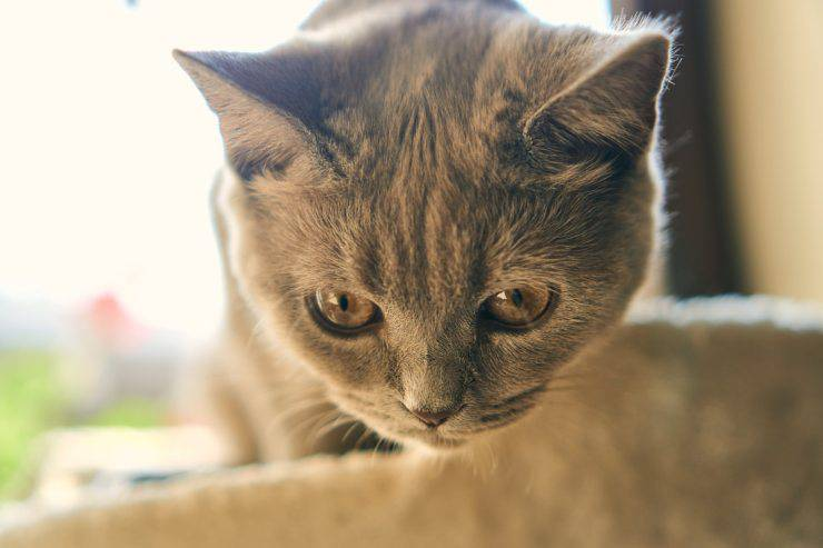 segnali diabete gatto