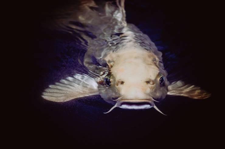 pesce gatto fatti noti