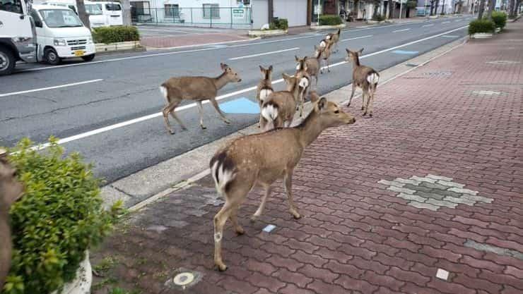 cervi in strada