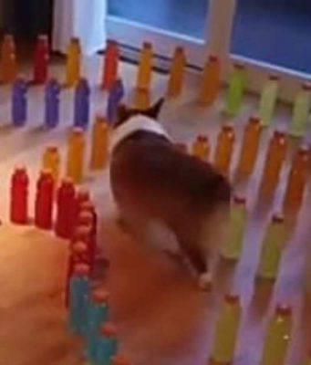 Il corgie nel labirinto (Foto video)