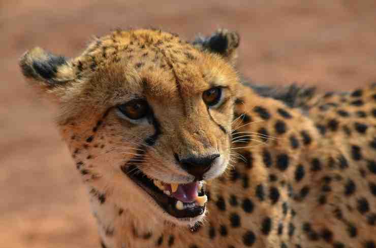 La ferocia del ghepardo (Foto Pixabay)