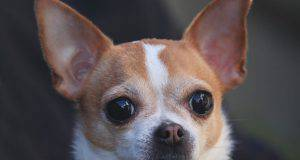 glaucoma cane rimedi naturali