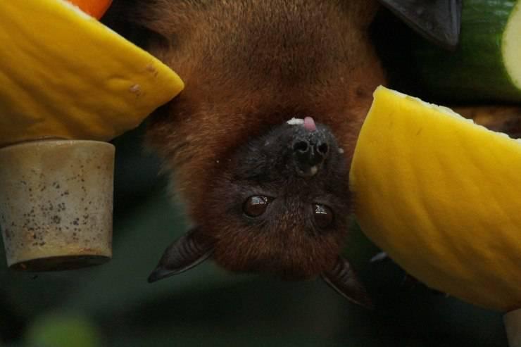 pipistrelli frutta