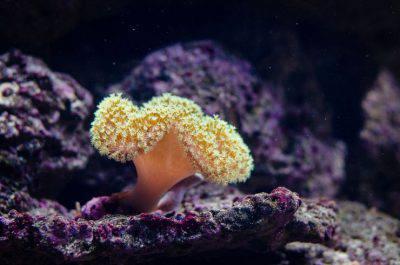 corallo coralli marini