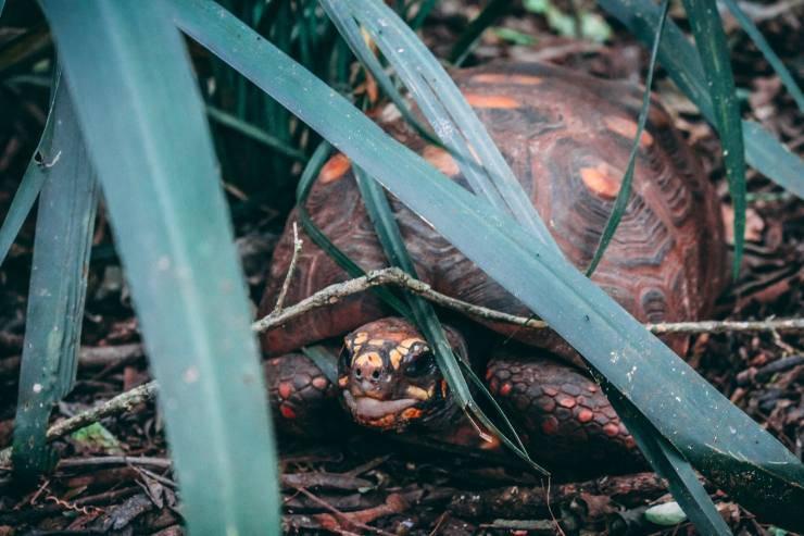 tartaruga terra nasconde