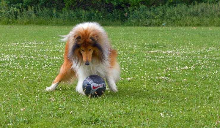 collie cane calcio