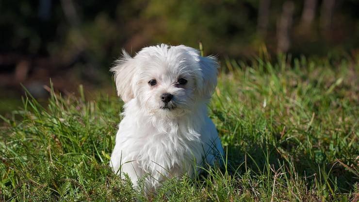 maltese cane cucciolo