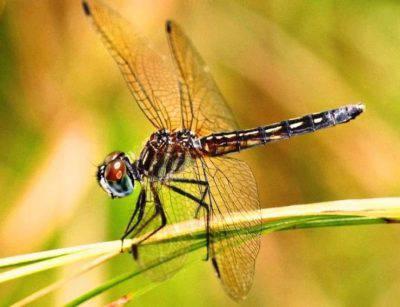 dasher blu libellula