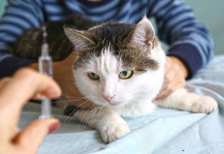 gatto contro siringa