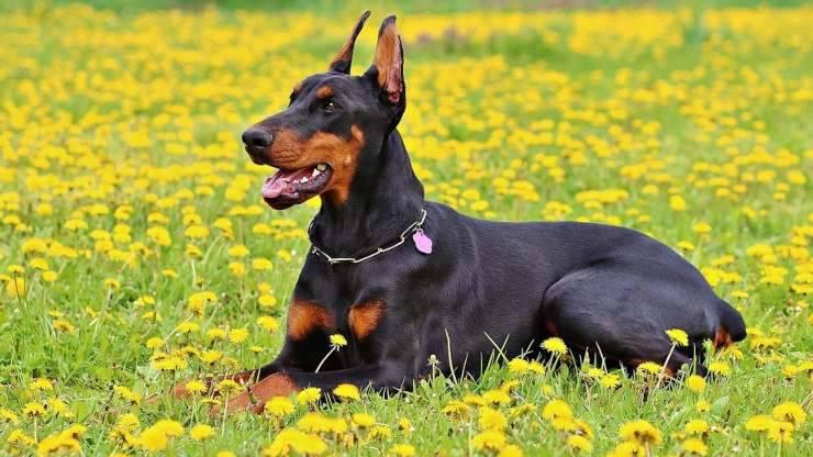 dobermann adulto cane
