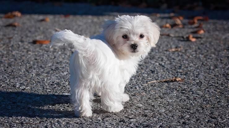 maltese cane adulto