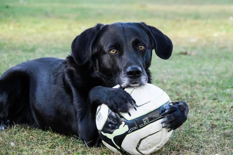 cagnolino palla calcio