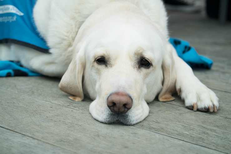 Il cane sta male (Foto Pixabay)