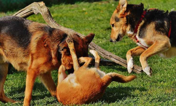 Cani che si azzuffano